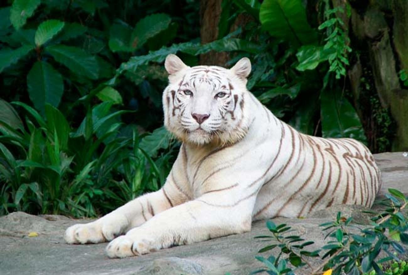Торговая стратегия Белый Тигр